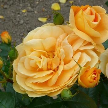 """Роза """"Bernstein-Rose"""" (TANeitber)"""