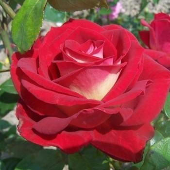"""Роза """"Bicolette"""""""