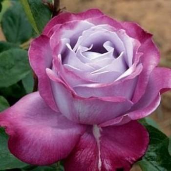 """Роза """"Blue River"""""""