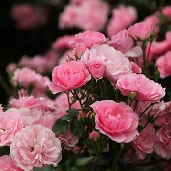 """Роза """"Bonica"""""""