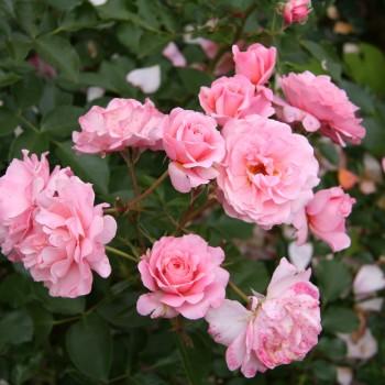 """Роза """"Botticelli"""""""