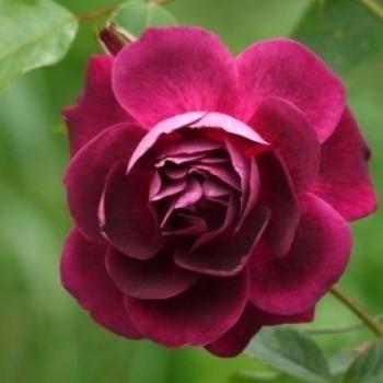 """Роза """"Burgundy Ice"""""""