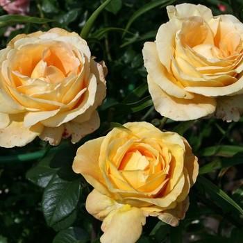 """Роза """"Cappucino"""""""