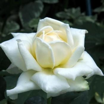 """Роза """"Caroline Victoria"""""""