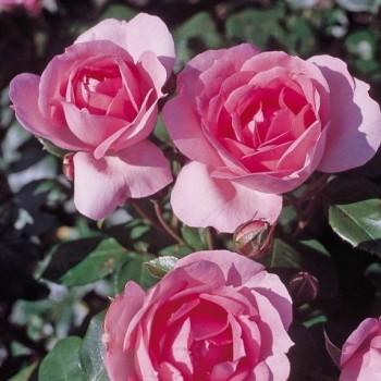 """Роза """"Centenaire de Lourdes"""""""