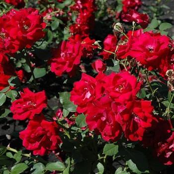"""Роза """"Champlain"""""""