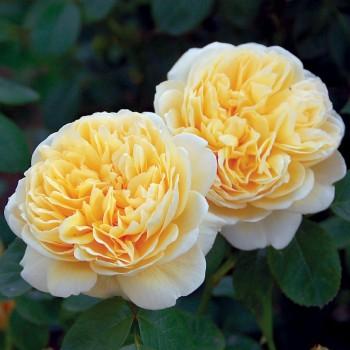 """Роза """"Charlotte"""""""