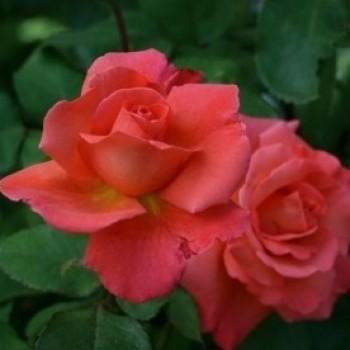 """Роза """"Christophe Colomb """""""