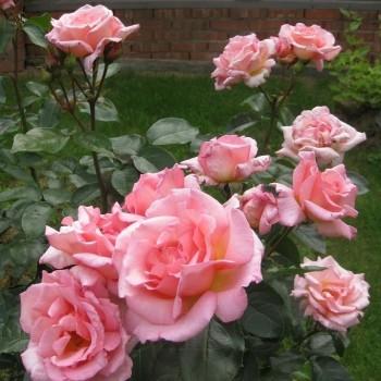 "Роза ""Compassion"""
