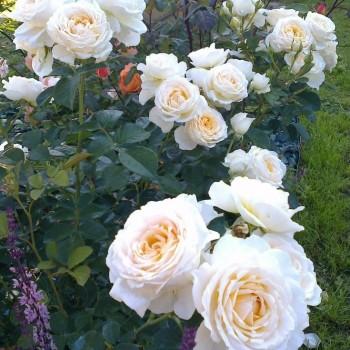 "Роза ""Cream Abundance"""