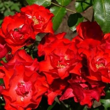 """Роза """"Crimson Meidiland"""""""