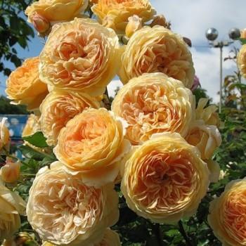 "Роза ""Crown Princess Margareta"""