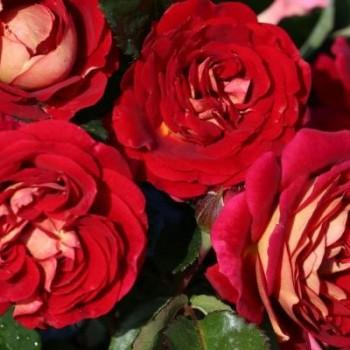 """Роза """"Die Sehenswert"""""""