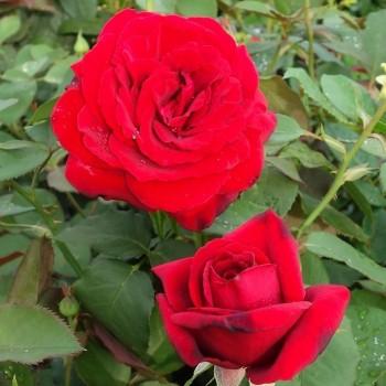"""Роза """"Duftzauber 84"""""""