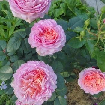 """Роза """"Eisvogel"""""""