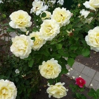"Роза ""Elina"""