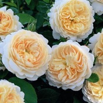 """Роза """"Emanuel"""""""