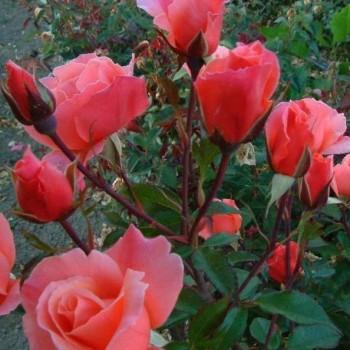 """Роза """"Fragrant Delight"""""""