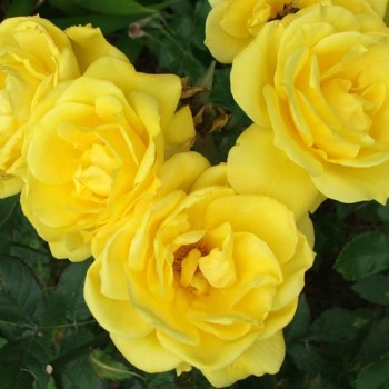 """Роза """"Friesia"""""""