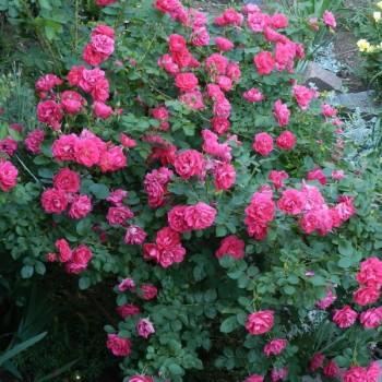 """Роза """"George Vancouver"""""""