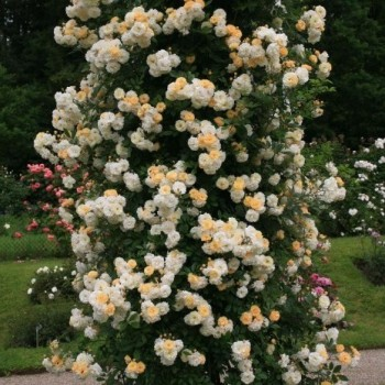 "Роза ""Ghislaine de Feligonde"""