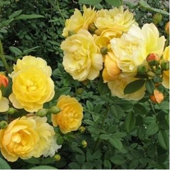 "Роза ""Goldstern"""