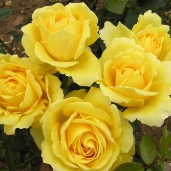 """Роза """"Guy's Gold """""""