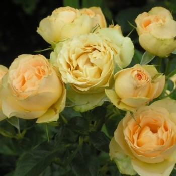 "Роза ""Henrietta Barnett"""