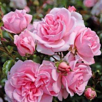 """Роза """"Home & Garden"""""""