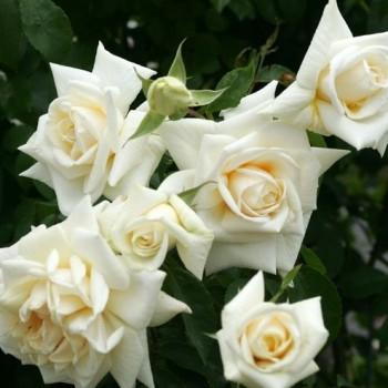 """Роза """"Ilse Krohn Superior"""""""