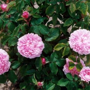 """Роза """"Jacques Cartier"""""""