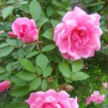 """Роза """"John Davis"""""""