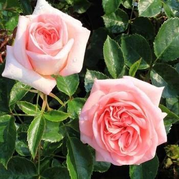 "Роза ""La Fontaine aux Perles"""
