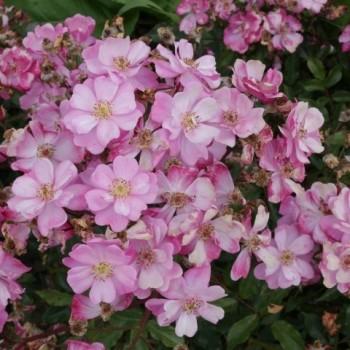 """Роза """"Lavender Dream"""""""