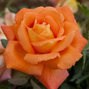 "Роза ""Louis de Funes"""