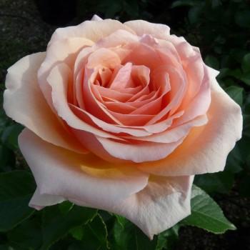 "Роза ""Lynda Bellingham"""