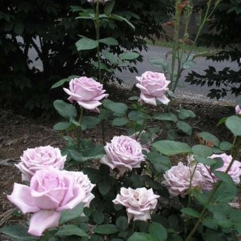 "Роза ""Mainzer Fastnacht"""