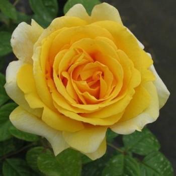 """Роза """"Michelangelo"""""""