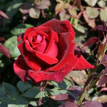 """Роза """"Mildred Scheel"""""""