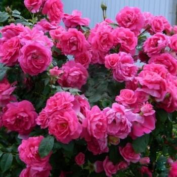"""Роза """"Morden Centennial"""""""