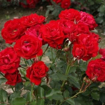 "Роза ""Nina Weibull"""