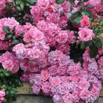 "Роза ""Palmengarten Frankfurt"""