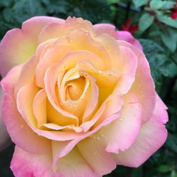 "Роза ""Peace"""