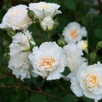 """Роза """"Poustinia"""""""
