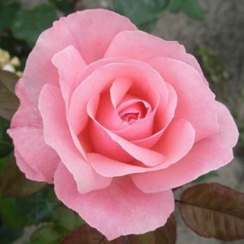 "Роза ""Queen Elizabeth"""