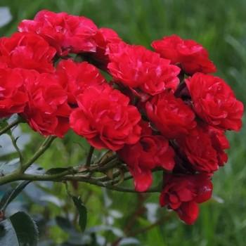 """Роза """"Red Fairy"""""""