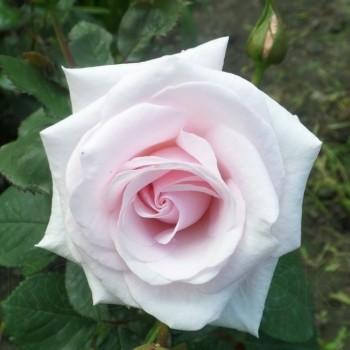 """Роза """"Rosa Belmonte"""""""