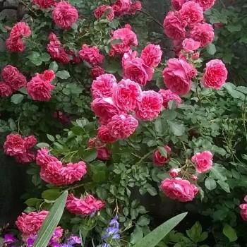 "Роза ""Rosarium Uetersen"""