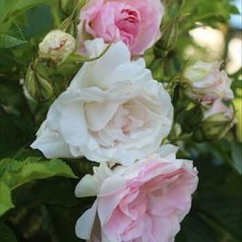 """Роза морщинистая """"Polareis"""""""